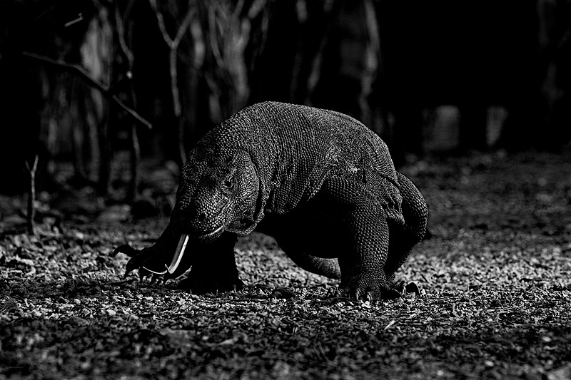 Komodo dragon walking on footpath at the National Park.  - Komodo Island, East Nusa Tenggara, Indonesia - Daily Travel Photos