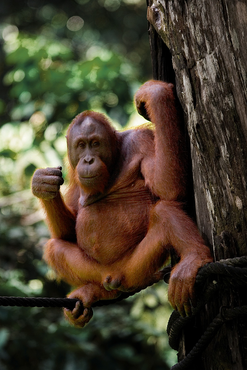 An orangutan rests at the Orangutan Rehabilitation Center - Sepilok, Sabah, Borneo, Malaysia - Daily Travel Photos