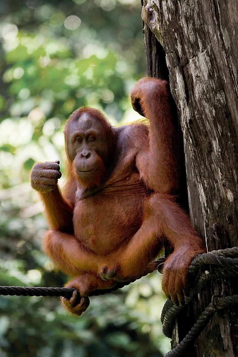 An orangutan rests at the Orangutan Rehabilitation Center - Sepilok, Sabah, Borneo, Malaysia - Daily Travel Photos