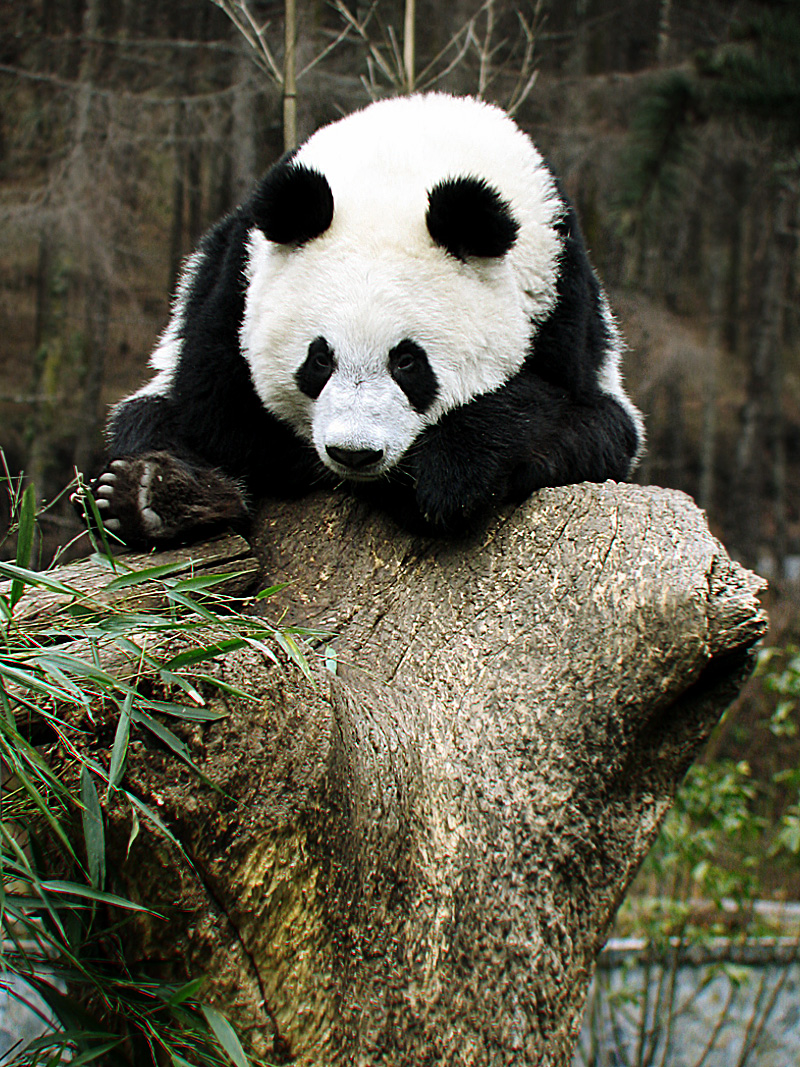 A panda bear looks sad and lonely at a panda reserve. - Wulong, Sichuan, China - Daily Travel Photos