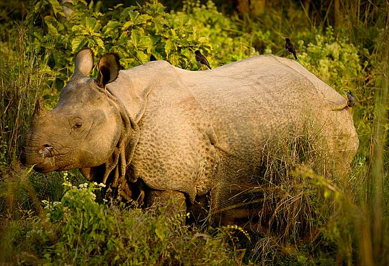 A one horned rhino at Chitwan National Park. - Chitwan, Nepal - Daily Travel Photos