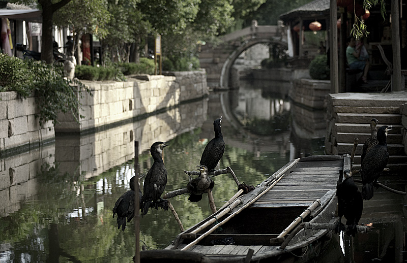 Cormorants with used for fishing. - Luzhi, Jiangsu, China - Daily Travel Photos