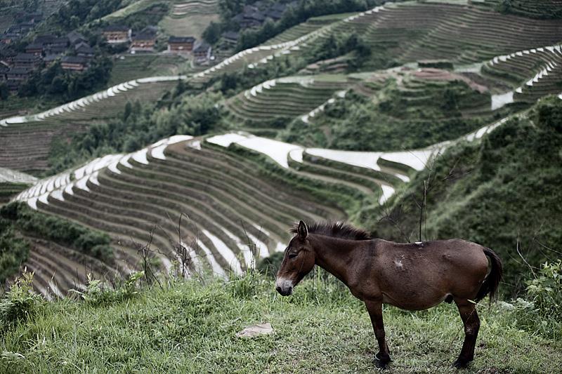 A donkey awaits further duty atop the rice terraces of Longsheng Dragon's Backbone.  - Ping An, Guanxi,  - Daily Travel Photos