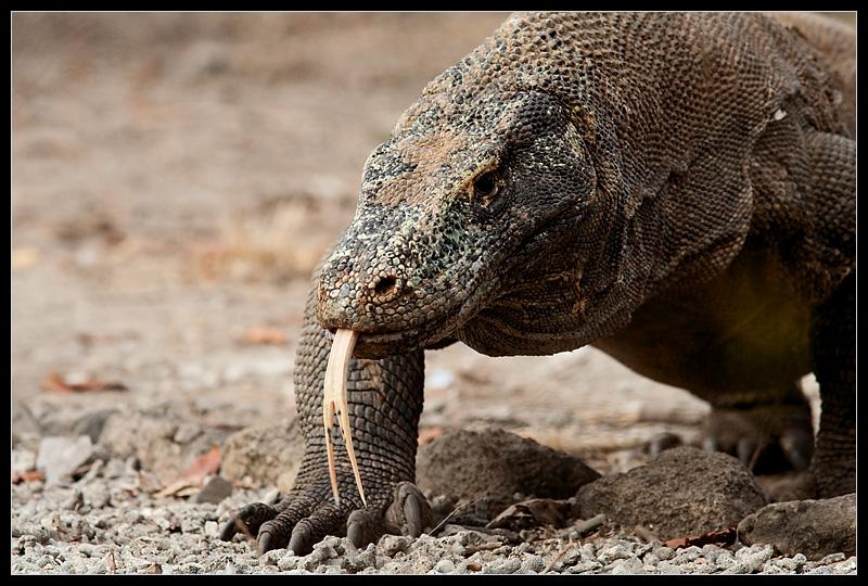 The forked tongue of a Komodo dragon at Komodo National Park. - Komodo Island, Indonesia - Daily Travel Photos