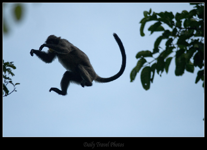 A monkey jumps from tree to tree - Sungei Kinabatangan, Borneo, Malaysia - Daily Travel Photos
