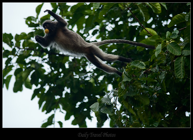 Jumping monkey mouthful food - Sungei Kinabatangan, Borneo, Malaysia - Daily Travel Photos