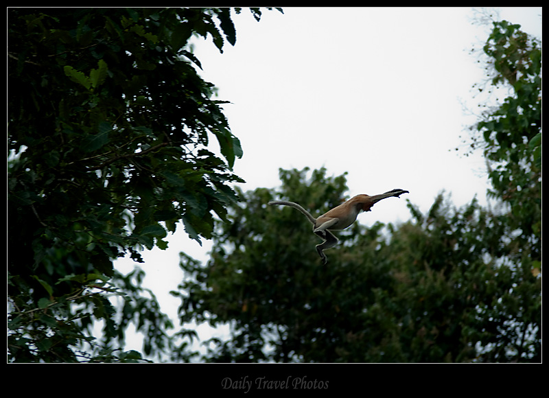 Proboscis Monkey jumps from tree to tree - Sungei Kinabatangan, Borneo, Malaysia - Daily Travel Photos