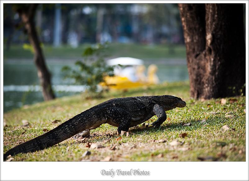 Monitor lizard at Lumpini park - Bangkok, Thailand - Daily Travel Photos