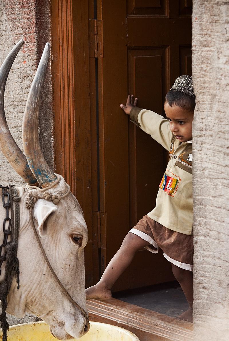 Cow & Child Kick - Bijapur, Karnataka, India- Daily Travel Photos