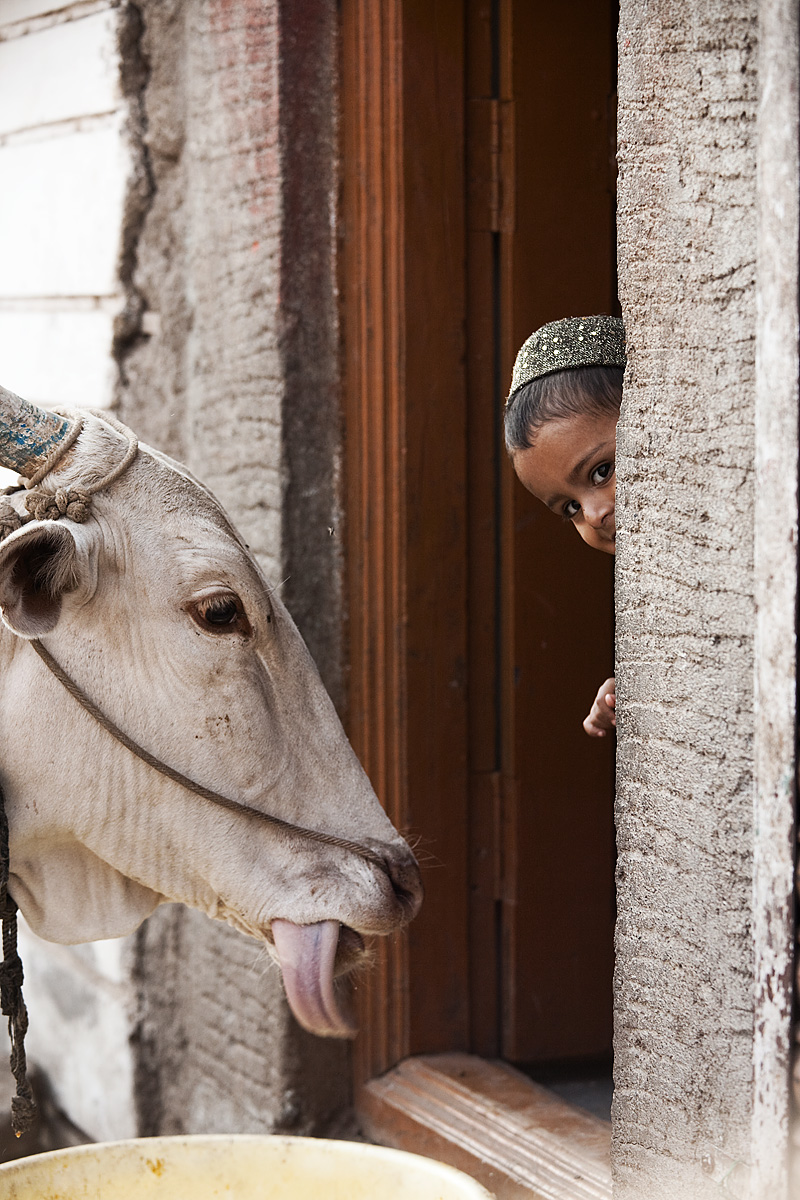 Cow Lick & Child - Bijapur, Karnataka, India - Daily Travel Photos