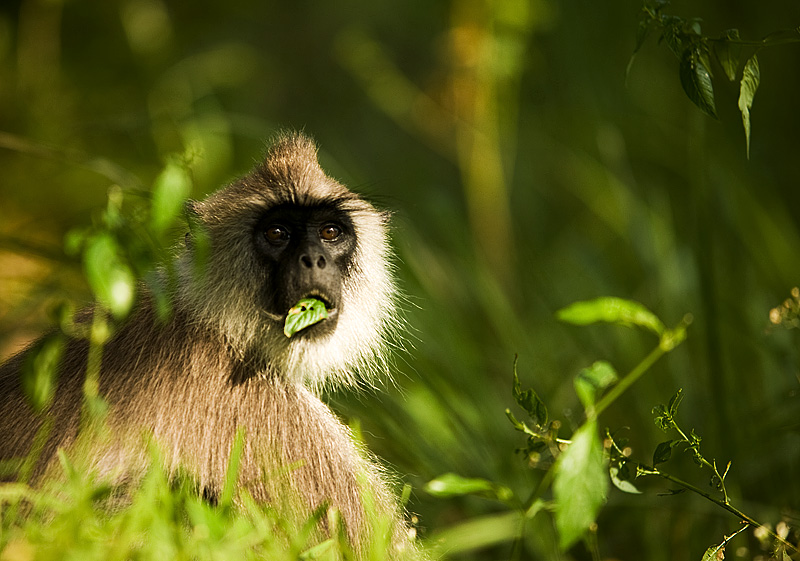 Langur Monkey Black Face Chew Leaf - Polunwarura, Sri Lanka - Daily Travel Photos