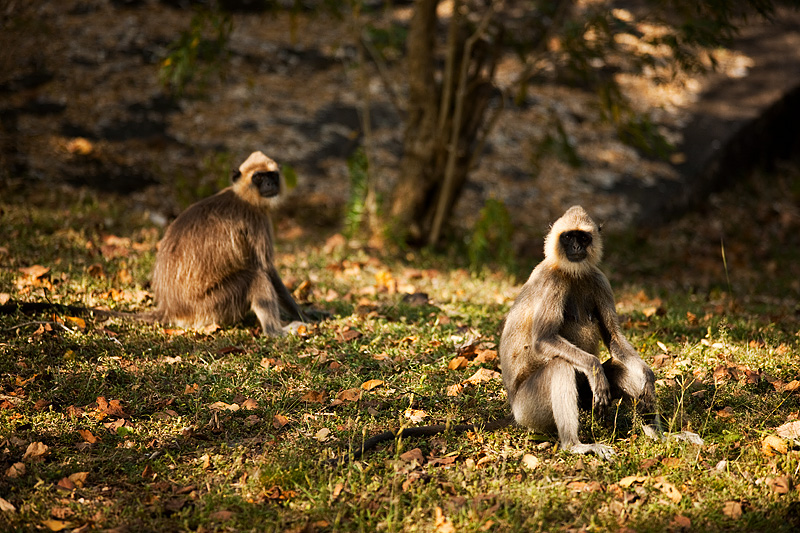 Langur Monkeys Black Face Sitting - Polunwarura, Sri Lanka - Daily Travel Photos