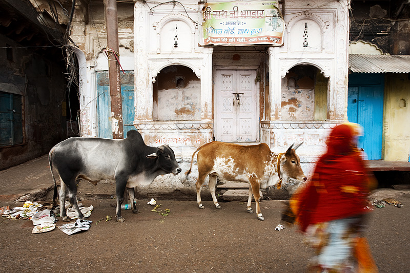 Cows front an ancient house as an Indian woman in a saree blurs by.  - Mathura, Uttar Pradesh, India - Daily Travel Photos