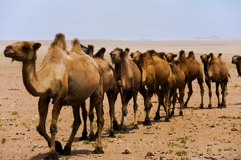 A caravan of double humped bactrian camels walks in a straight line. - Gobi Desert, Mongolia - Daily Travel Photos
