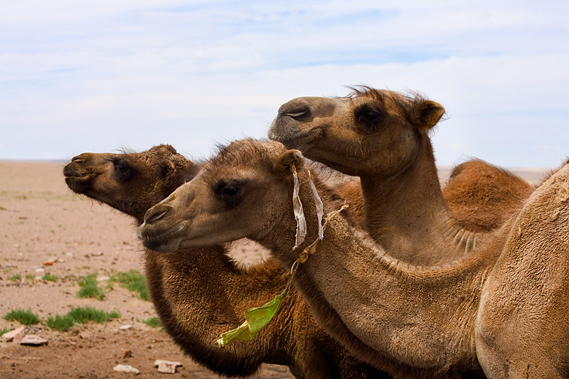 The profiles of three camels craning their necks. - Gobi Desert, Mongolia - Daily Travel Photos
