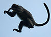 photo: Mid-Air (Leaping Monkeys I) - Air-borne monkeys hurl themselves from tree to tree.