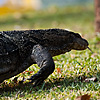 Amphibious (Water Monster II) Photo: At Lumpini park, several monitor lizards roam the park before and after closing hours.  Luckily, these 2 meter (2 yards) long reptiles are more afraid of us than we are of them despite the appearance of the contrary when a pack of hysterical Thai teens stumbles upon one of these creatures.