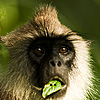 Dark Countenance Photo: A langur's lunch is interrupted.