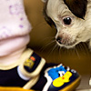Chubs Photo: A puppy investigates a pair of baby shoes.