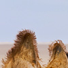 Hairy Herd Photo: A caravan of domesticated bactrian camels roams the Gobi desert.
