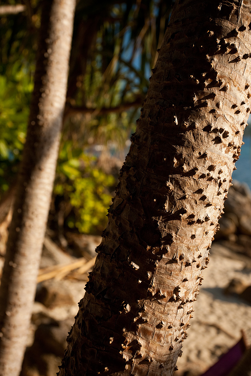 Knobs protrude from a local tree species. - Ko Lipe, Thailand - Daily Travel Photos