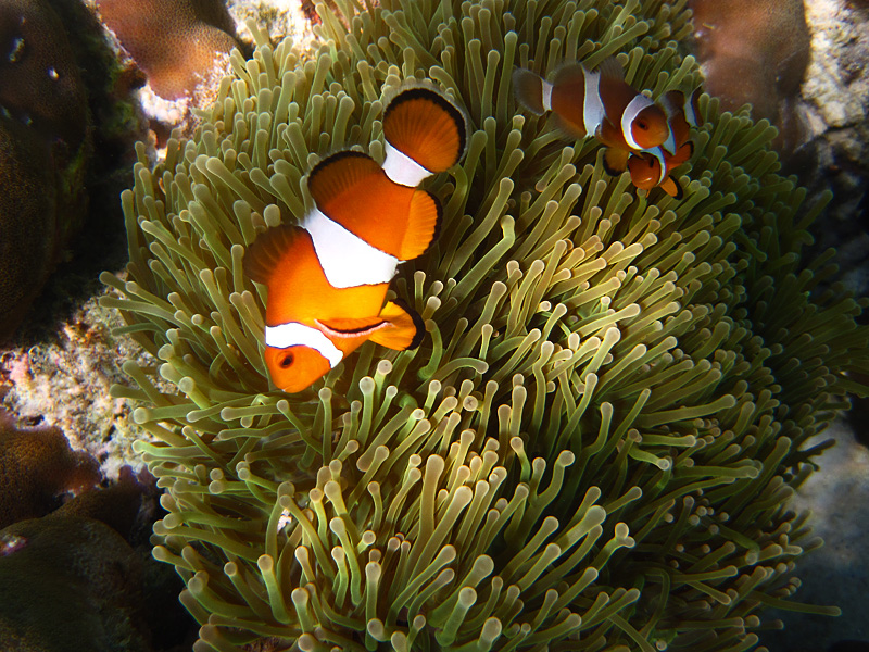 Clown fish swim among the tentacles of a sea anemone in the crystal clear waters off Ko Lipe. - Ko Lipe, Thailand - Daily Travel Photos