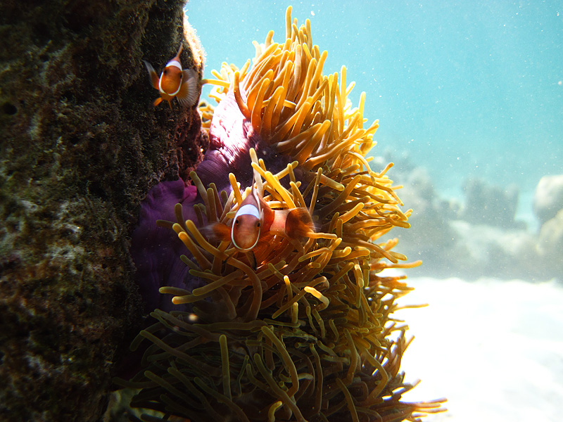 Clown fish inquisitively stare at the snorkeling cameraman in the waters of Ko Lipe. - Ko Lipe, Thailand - Daily Travel Photos