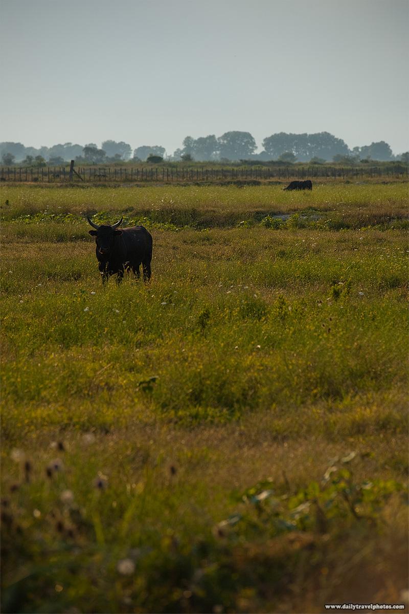 Private fighting bull farm - Sainte Marie De La Mer, Camargue, France - Daily Travel Photos