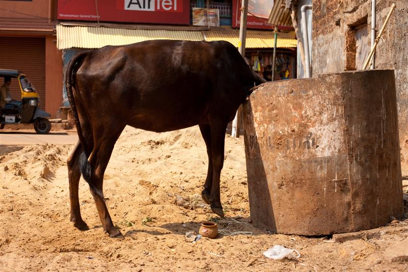 A cow dives head first into a garbage bin in search of food - Gokarna, Karnataka, India - Daily Travel Photos