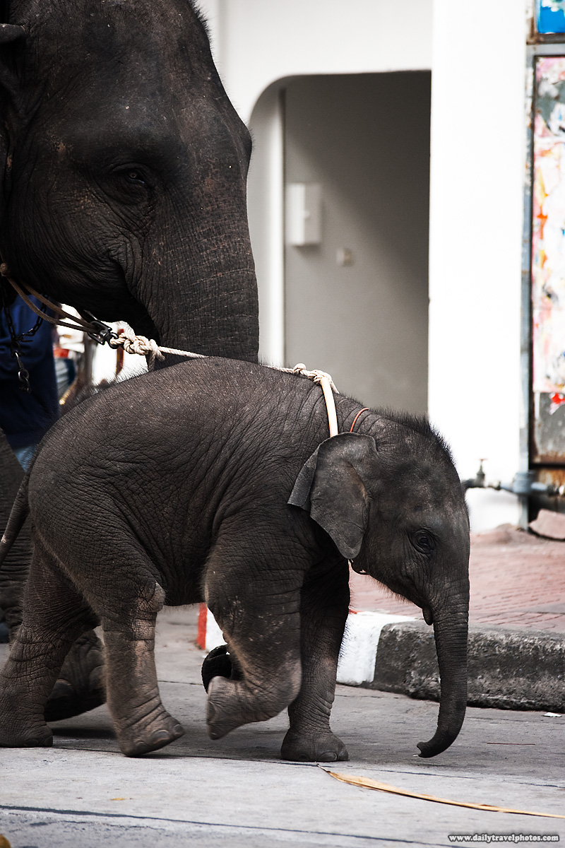 Baby Elephant Urban Street City - Surin, Isaan, Thailand - Daily Travel Photos