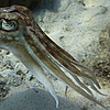 Slimy Cephalopod Photo: A stationary cuttlefish floats with stretched tentacles.