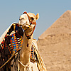 Pyramid Point Photo: A tourist camel waits at the officially sanctioned viewpoint of the pyramids.