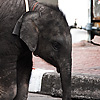 Street Elephants Photo: A baby elephant roams the street with her mother.