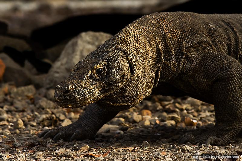 Komodo Dragon Walking Closeup - Komodo Island, NTT, Indonesia - Daily Travel Photos