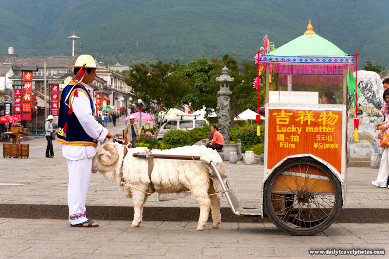 Chinese Sheep Take Picture With  - Dali, Yunnan, China - Daily Travel Photos