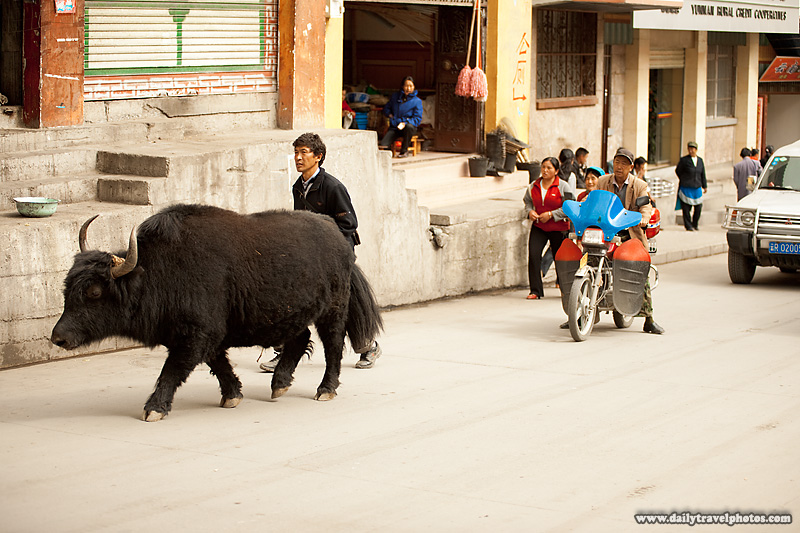 A Slow Yak Blocks Traffic - Deqin, Yunnan, China - Daily Travel Photos