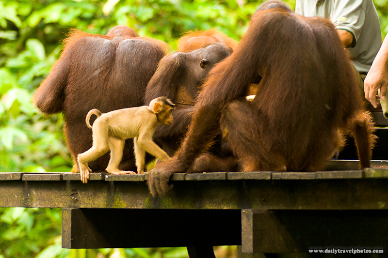 Pigtail Macaque Monkey Sneaks Into Group of Feeding Orangutans to Steal Food - Sepilok, Sabah, Borneo, Malaysia - Daily Travel Photos