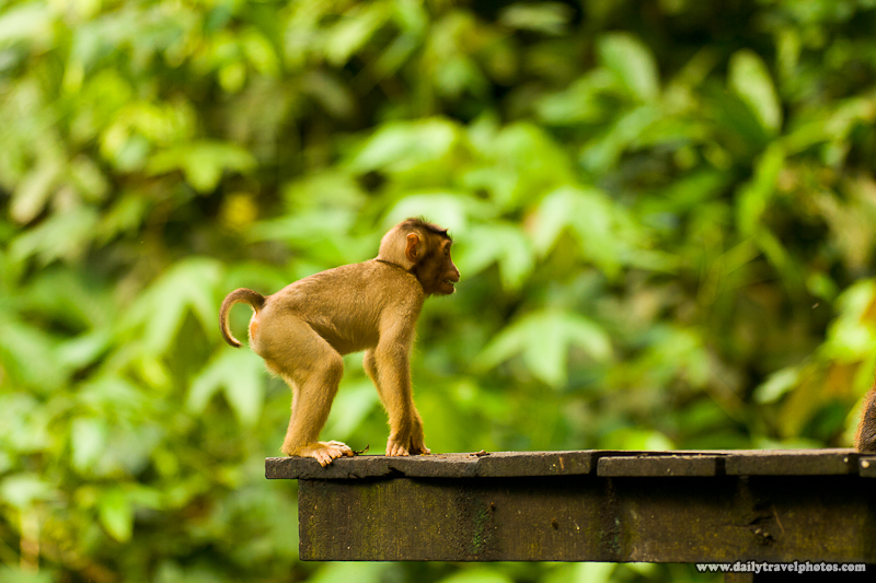 Pigtail Macaque Waiting Nervously For Opportunity to Steal Food - Sepilok, Sabah, Borneo, Malaysia - Daily Travel Photos