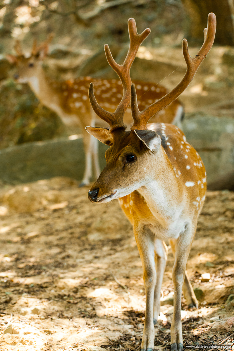 Formosan Sika Spotted Deer - Daqiu, Matsu Islands, Taiwan - Daily Travel Photos
