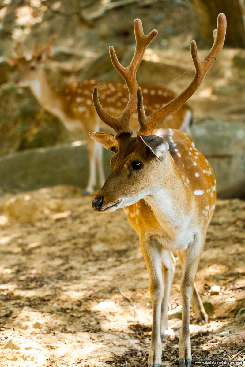 Formosan Sika Spotted Deer - Daqiu, Matsu Islands, Taiwan - Daily Travel Photos