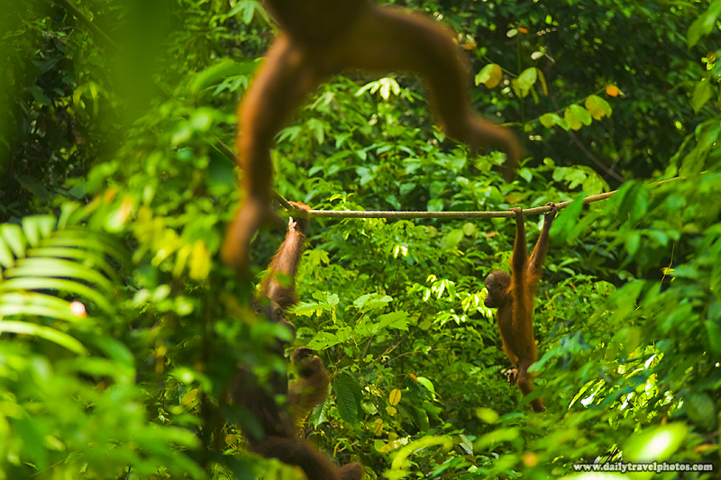 Orangutans Swinging Through Jungle Canopy - Sepilok, Sabah, Borneo, Malaysia - Daily Travel Photos