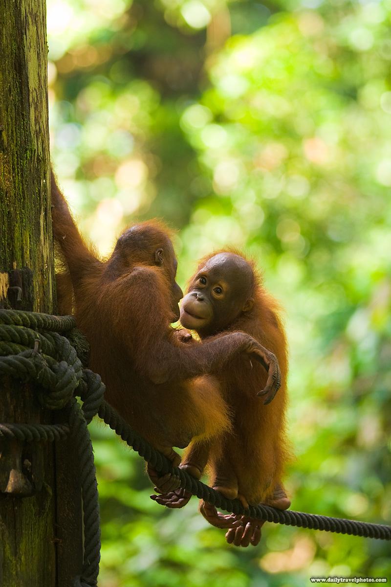 Baby Orangutans Playing at Sepilok Rehabilitation Center - Sepilok, Sabah, Borneo, Malaysia - Daily Travel Photos