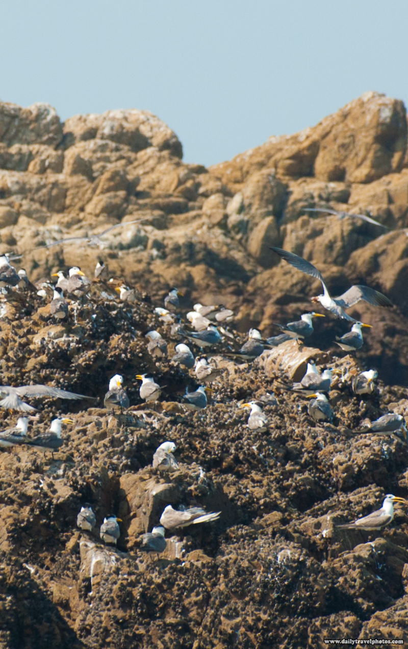 100% Crop of Terns a Rocky Islet - Daqiu, Matsu Islands, Taiwan - Daily Travel Photos