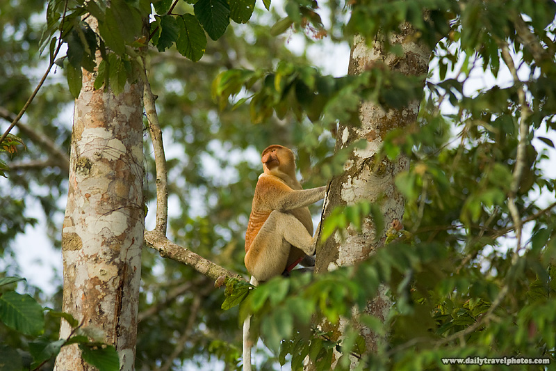 Proboscis Monkey Sitting in Jungle Tree of Borneo  - Kinabatangan, Sabah, Malaysia - Daily Travel Photos