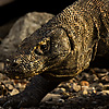 photo: Komodo Dragon Lifestyle - A Komodo dragon takes a morning stroll in its natural habitat on Komodo Island (ARCHIVED PHOTO on the weekends - originally photographed 2006/11/07).
