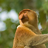 One Arm Salute Photo: A proboscis monkey hangs out in a tree in the jungles of Borneo (ARCHIVED PHOTO on the weekends - originally photographed 2006/09/08).