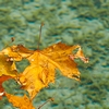 Limp Leaves Photo: Autumn colored leaves floating on top of Annecy Lake.